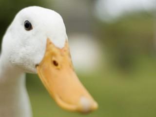 Çekirge istilasına 100 bin ördek